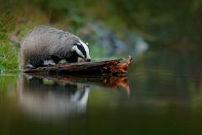 Animal Magic: The Badger