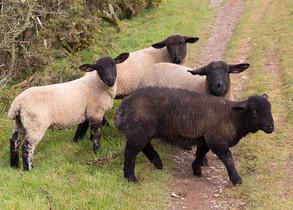 Animal Magic: The Sheep