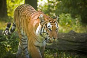 Animal Magic: The Tiger