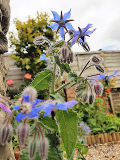 A Witch's Garden: Borage