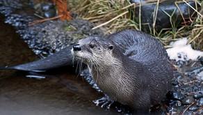 Animal Magic: The Otter