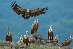 Animal Magic: The Vulture