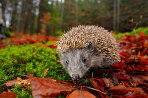 Animal Magic: The Hedgehog