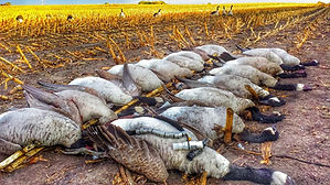 minnesota mn canada goose hunting guide outfitters