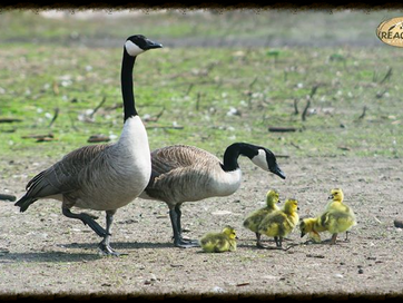 Nesting Canada Geese in Minnesota