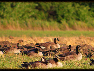 Minnesota Intensive Harvest Early August Canada Goose Season Discontinued