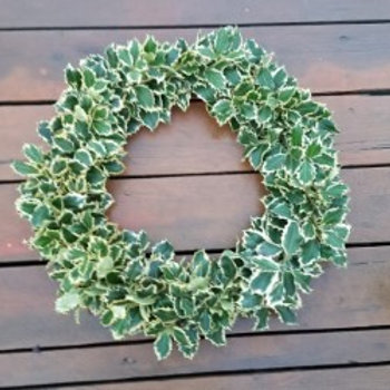 Full Variegated Holly Wreath