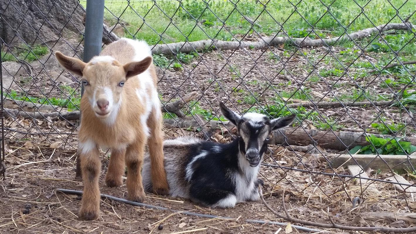 Nigerian Dwarf goat kids