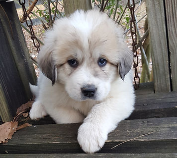 Great Pyrenees Puppy, Male 1