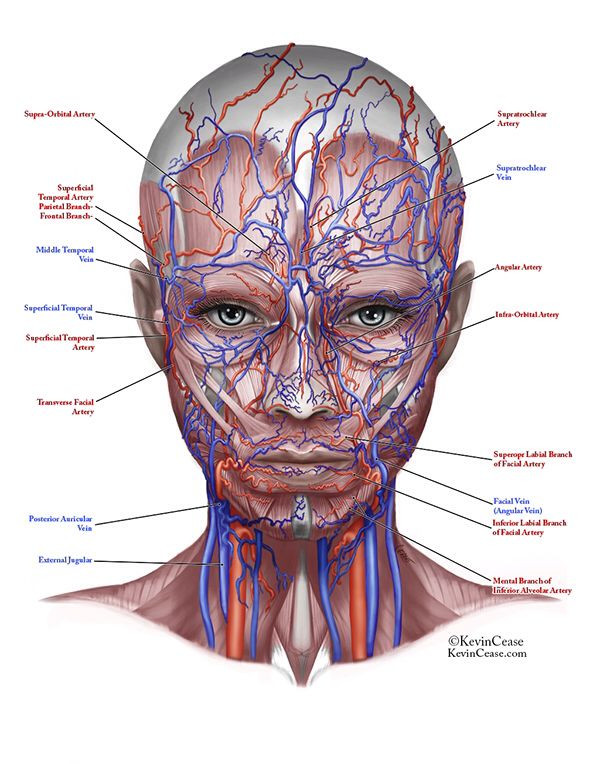 Image result for vascular facial anatomy