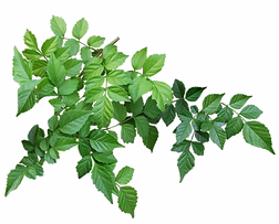 Leaves-PNG-Image.png