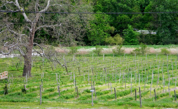 palaia-vineyard.jpg
