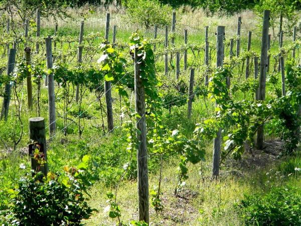 palaia-vineyard-close.jpg
