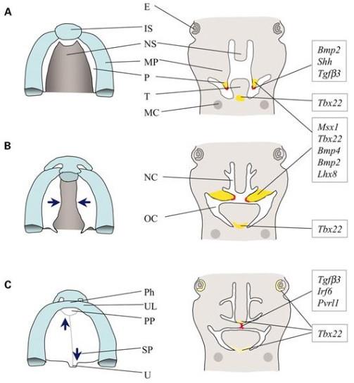 Desenvolvimento craniofacial