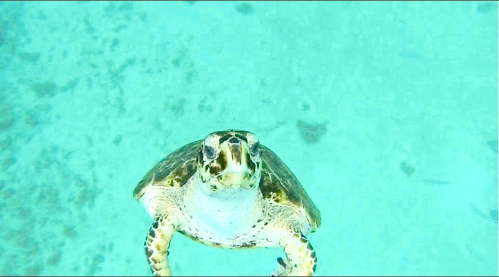 Travel in Barbados on a budget - Swim with turtles
