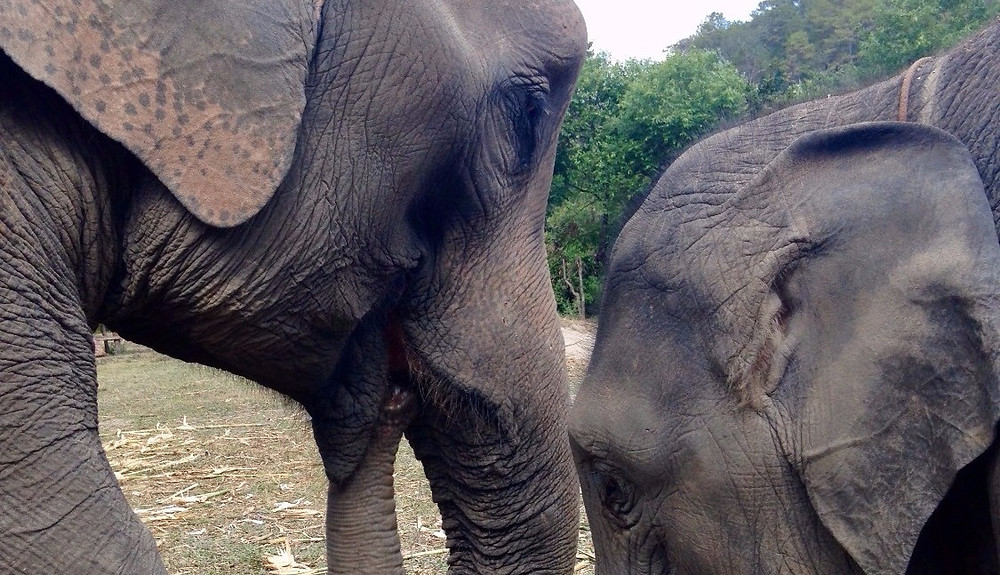 Ethical Elephant Experience Thailand Chiang Mai