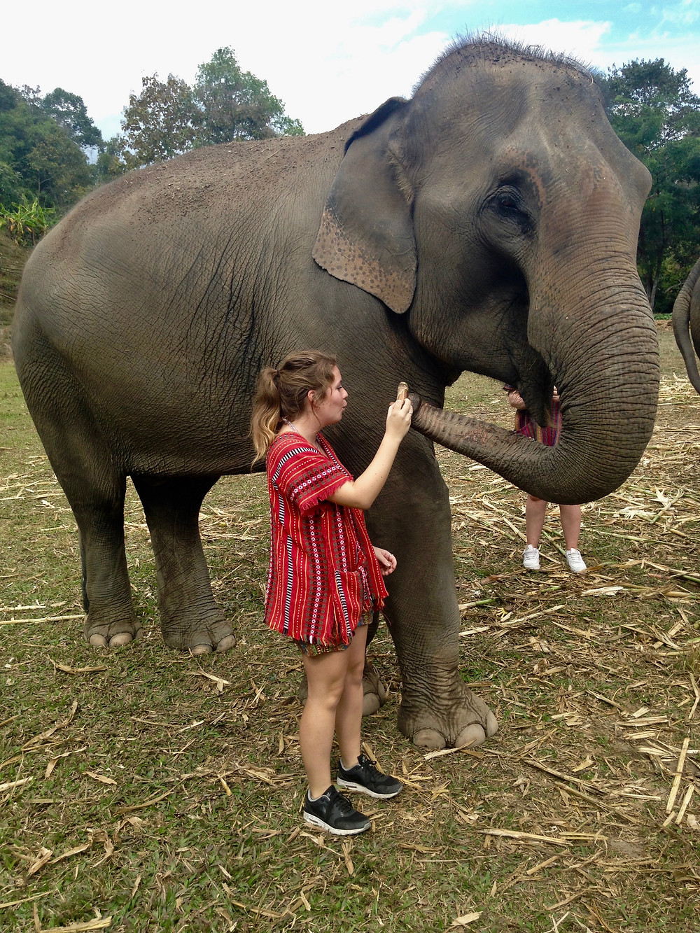Feeding Elephants while having an Ethical Elephant Experience Thailand Chiang Mai