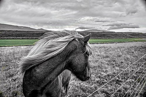 iceland, north iceland, horse, color, limited edition, fine art