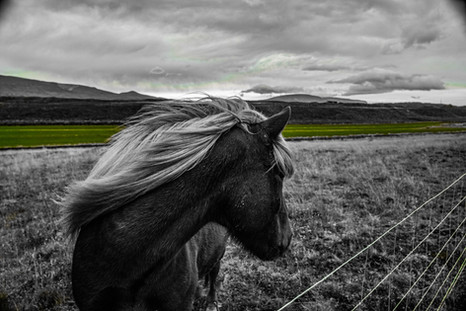 North Icelandic Pony Looking Back