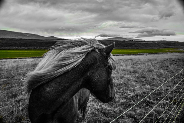 North Icelandic Pony Looking Back