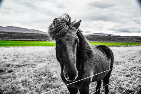 Noth Icelandic Pony