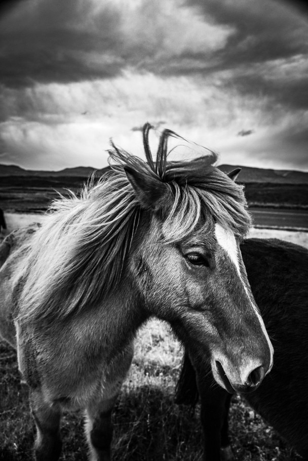 North Icelandic Pony