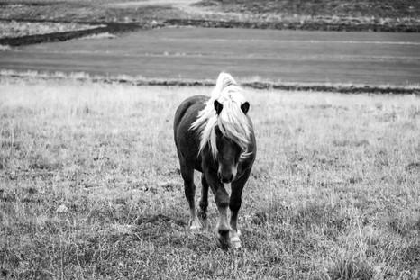 North Iceland Pony strolls