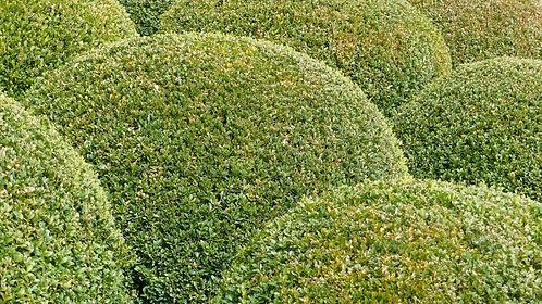 plants_nature_garden_massif_boxwood_bowl