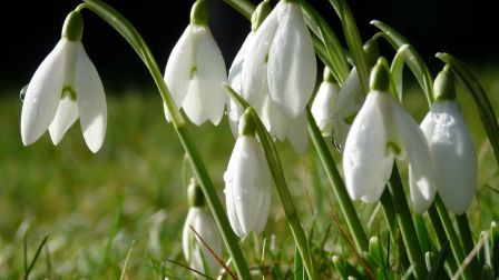 snowdrops_flowers_grass_dew_spring_macro_hd-wallpaper-235116.jpg