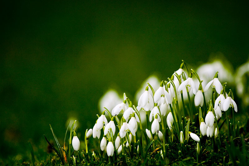 snow drops (http-_www.dphclub.com_beautiful-pictures_photos_artistic-photo_snowd