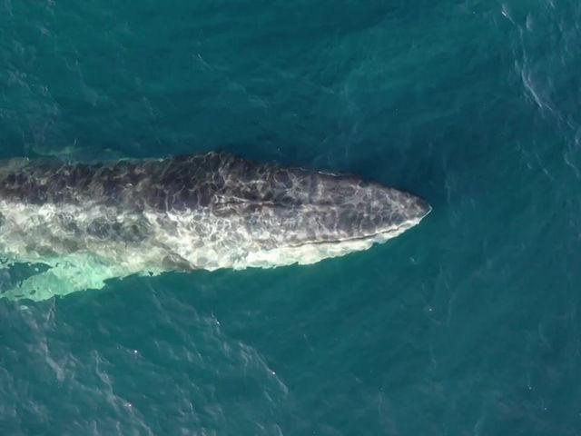 Drones capture whales feeding off Spanish coast
