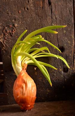 _DSC5249 onion growing