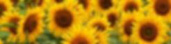 Header_Sunflowers.jpg