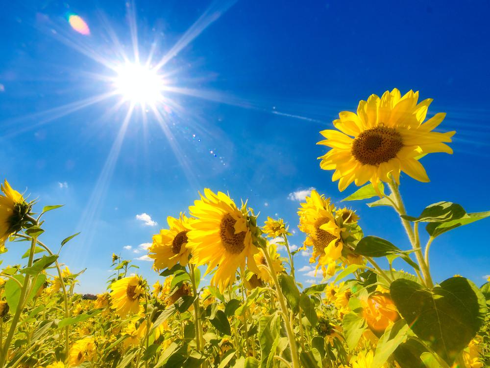 sunflowers under a blue sky and shining sun