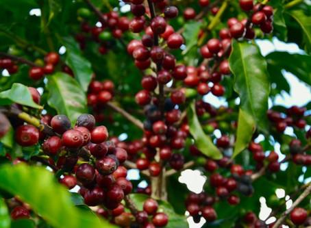 Especialistas acreditam em aumento da exportação de café verde por conta da pandemia