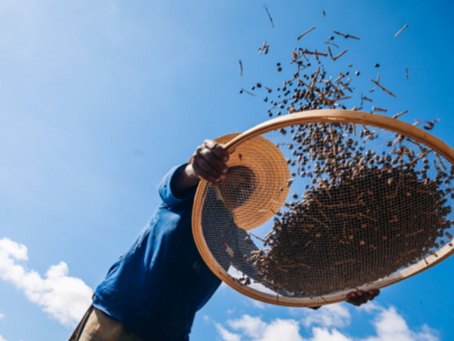 Colheita de café no Brasil atinge 40% do total projetado para temporada 2012/2022