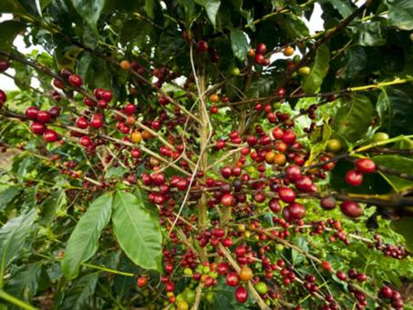 Consultoria estima 53 milhões de sacas de café para safra 2021/2022