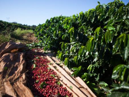 Cafeicultura brasileira poderá contribuir para os novos planos verdes de Pequim