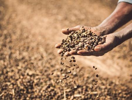 IBGE aponta 57 milhões de sacas de café na safra brasileira 2020/2021