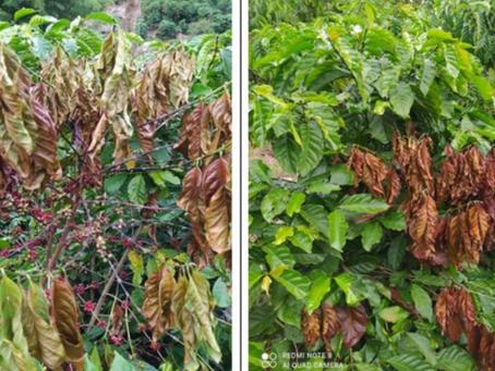 Fusariose em cafeeiros robusta-conilon também no leste de Minas Gerais