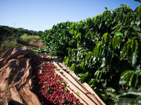 Colheita de café avança no Brasil e alcança 54% da safra 2021/2022