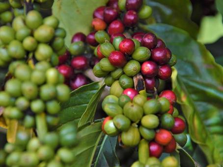 Seis novas espécies de café são identificadas no Madagascar