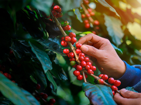 IBGE estima que safra 2021/2022 de café alcance 48,9 milhões de sacas