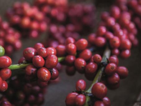 Cerrado mato-grossense realiza experimentos de cultivo de café canéfora