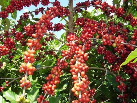 5º maior produtor do Brasil: Cultivo de café em Rondônia cresce nos últimos anos