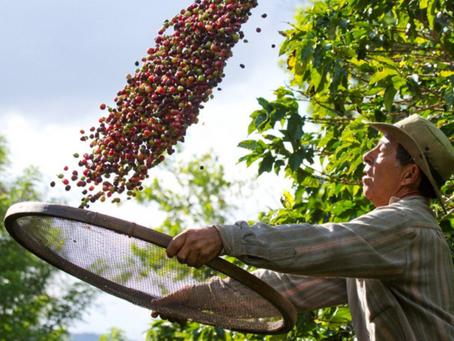 Produção de café em São Paulo deve chegar a pouco mais de 4 milhões de sacas
