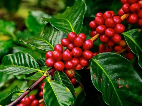 Produção de café arábica ocupa área de 1,5 milhão de hectares no Brasil