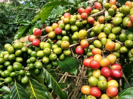 Especialista destaca ações para produção do café em tempos de poucas chuvas
