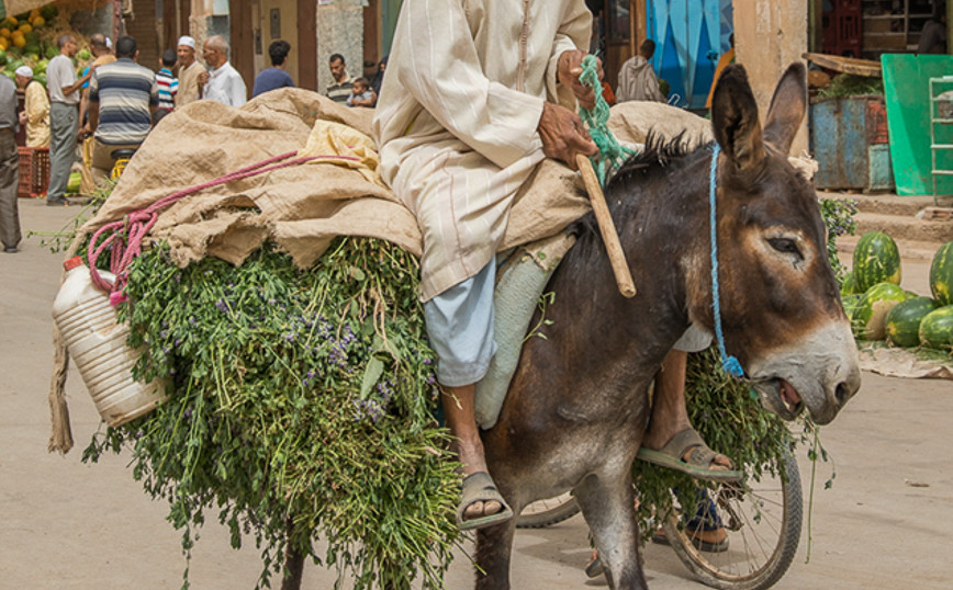 Moroccan Donkey by Les Thwaites