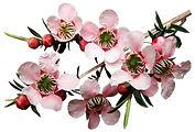 Teebaum Blüte Teebaumöl